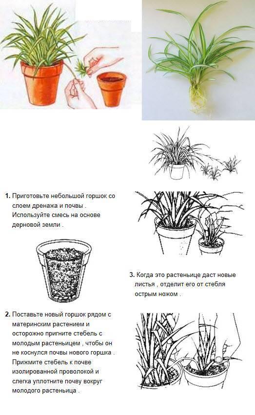 Хлорофитум: фото, польза для дома, вреден ли данный комнатный цветок?