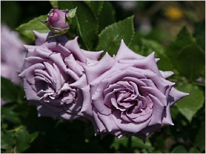 Плетистая роза индиголетта — голубая королева сада