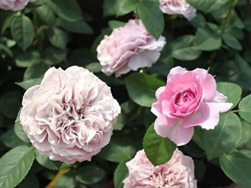 Плетистый сорт роз симпатия кордеса: посадка и уход за гибридной культурой
