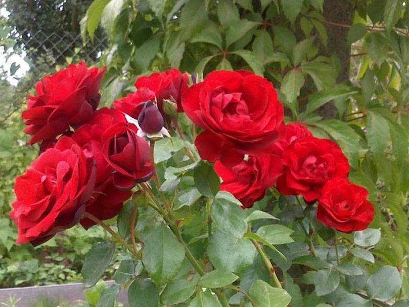 Роза Гранд Аморе (Grande Amore) — что это за чайно-гибридный сорт