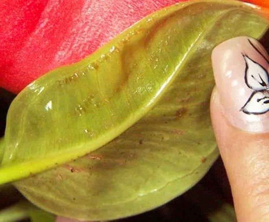 Антурииум: болезни листьев, что делать, если желтеют, чернеют, сохнут листья