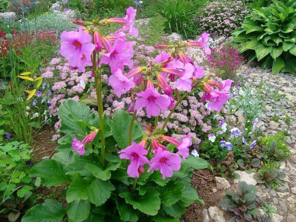 Инкарвиллея: выращивание из семян в саду