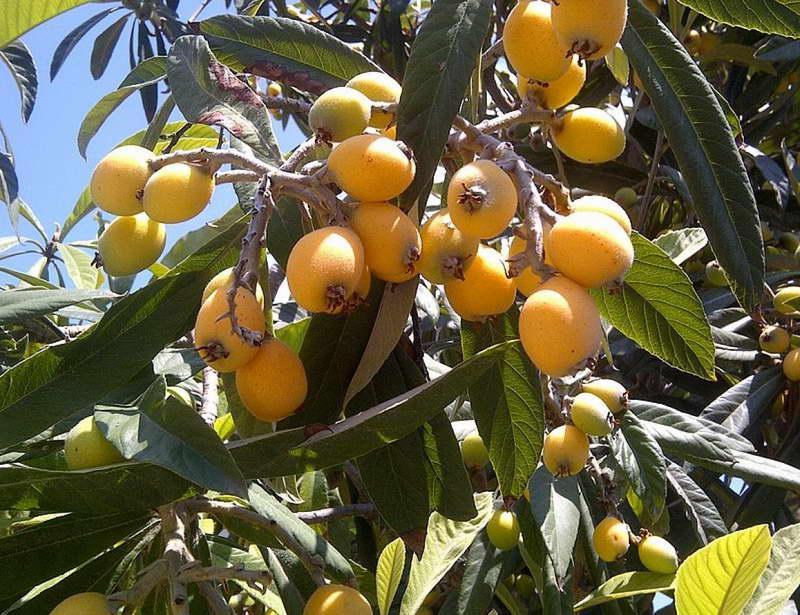 Мушмула: выращивание из косточки дома и в саду