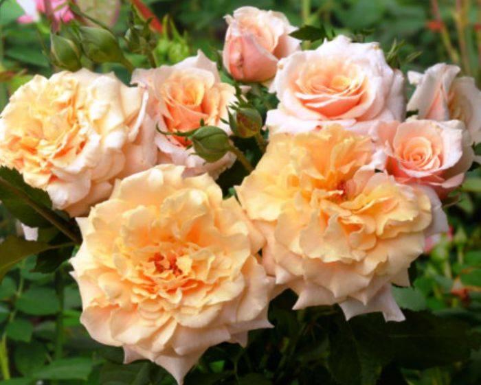 Роза шраб: что это такое, что значит этот вид, как ухаживать после посадки, всё о них, а именно описание, сорта с фото и многое другое