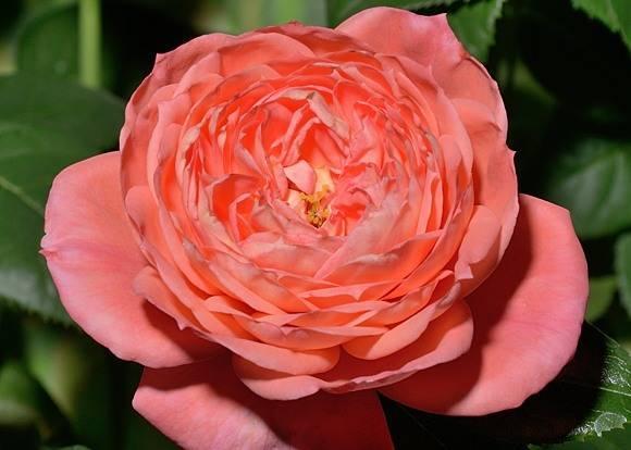 5 лучших сортов роз флорибунда
