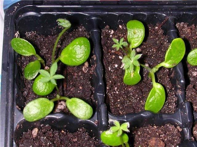 Люпины многолетние посадка и уход когда сажать люпины семенами в грунт и на рассаду - общая информация - 2020