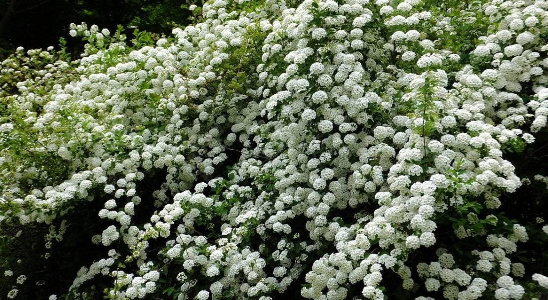 Японская айва кустарник — описание растения и плодов - pocvetam.ru