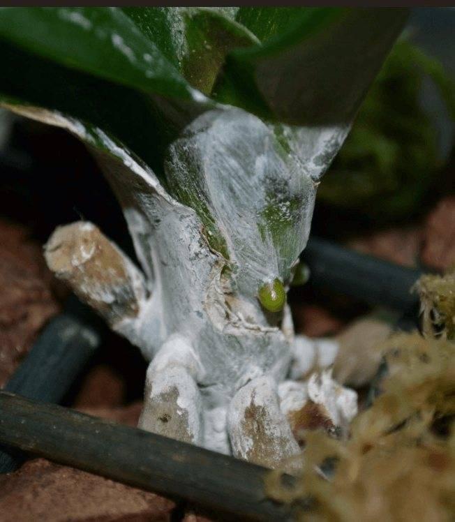 Узнайте, как разводить янтарную кислоту для орхидей