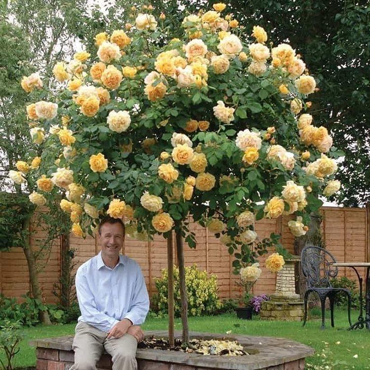 Розы дэвида остина (55 фото): названия и описания остинских роз, лучшие новые сорта для сибири и других регионов