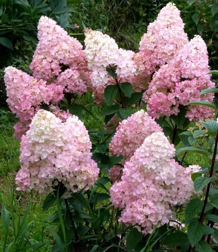 Гортензия даймонд руж (hydrangea paniculata diamant rouge) - описание - pocvetam.ru