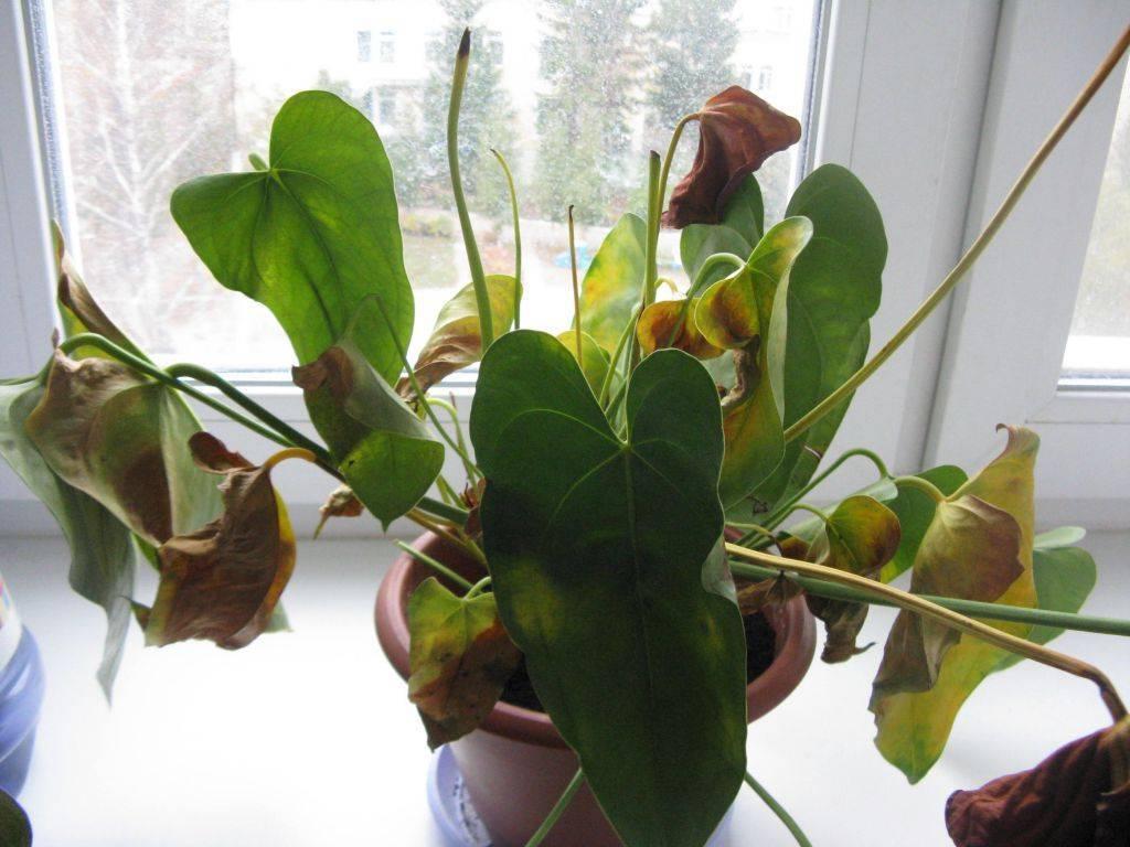 Желтеют листья антуриума: что делать, лечение, особенности ухода