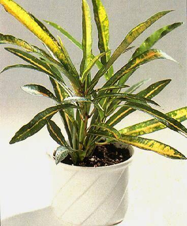 Комнатные растения с длинными листьями (40 фото): с узкими тонкими листьями и колючий цветок с острыми удлиненными листьями, другие виды