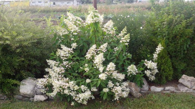 Гортензия метельчатая юник hydrangea paniculata unique