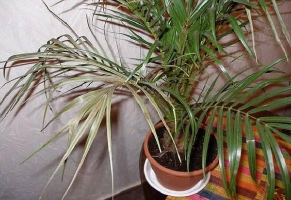 Веерная пальма: уход в домашних условиях. советы для начинающих