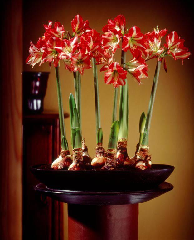 Что делать, если амариллис не цветет: советы как заставить цвести, правильный уход после цветения