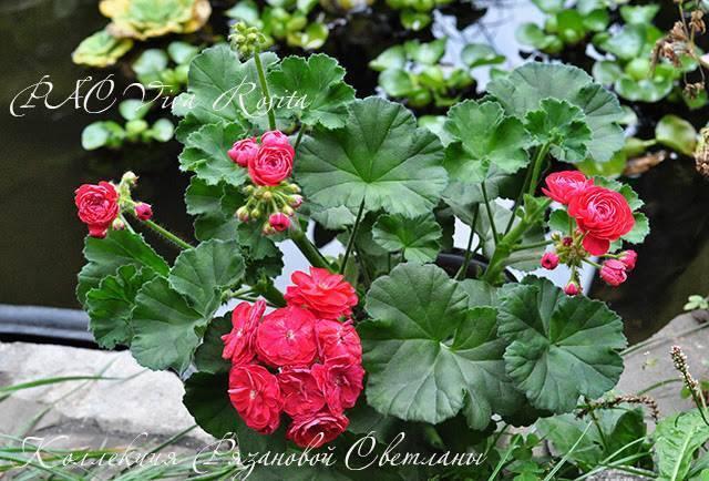 Советы опытных садоводов по выращиванию пеларгонии анита. фото и описание цветка