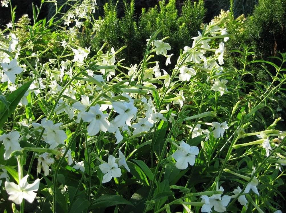 Как вырастить душистый табак из семян в домашних условиях когда сажать на рассаду посадка и уход