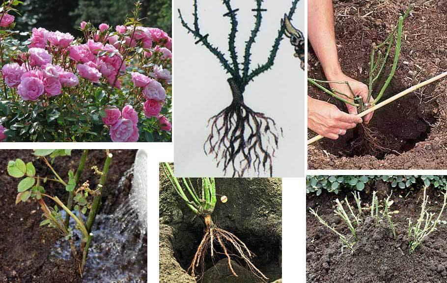 Как правильно посадить розу весной в открытый грунт