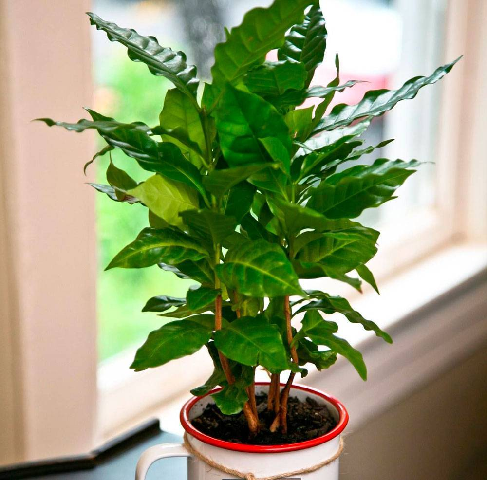 Комнатные деревья: уход за растением кофе арабика в домашних условиях