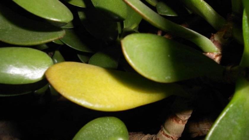 Болезни денежного дерева: их лечение, фото и что делать, как бороться с недугами толстянки, какие вредители поражают листья крассулы, как цветку от них избавиться?