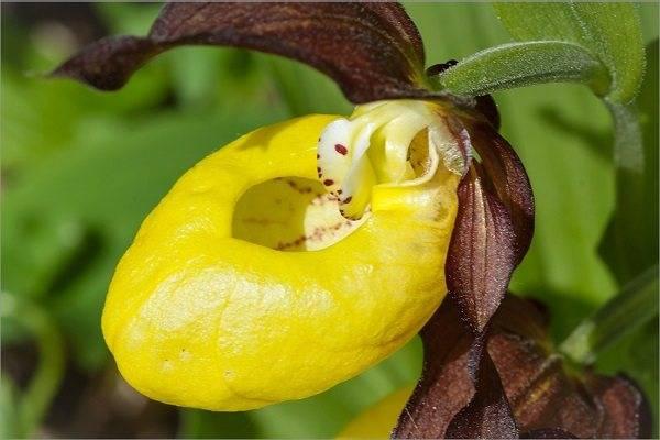 Венерин башмачок (43 фото): описание цветка. как выглядит орхидея «башмачок настоящий»? уход за растением в домашних условиях