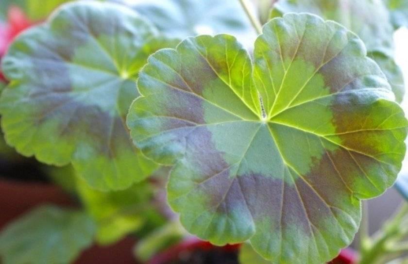 Почему листья пеларгонии краснеют, сворачиваются, сохнут: что с этим делать и как не допустить в дальнейшем?