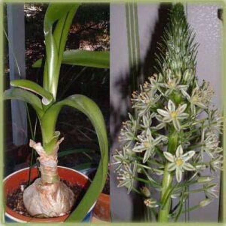 Индийский лук (птицемлечник хвостатый) как комнатное растение - pocvetam.ru