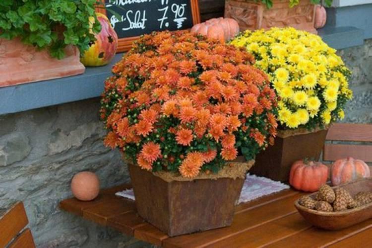 Хризантема «мультифлора»: описание и особенности выращивания
