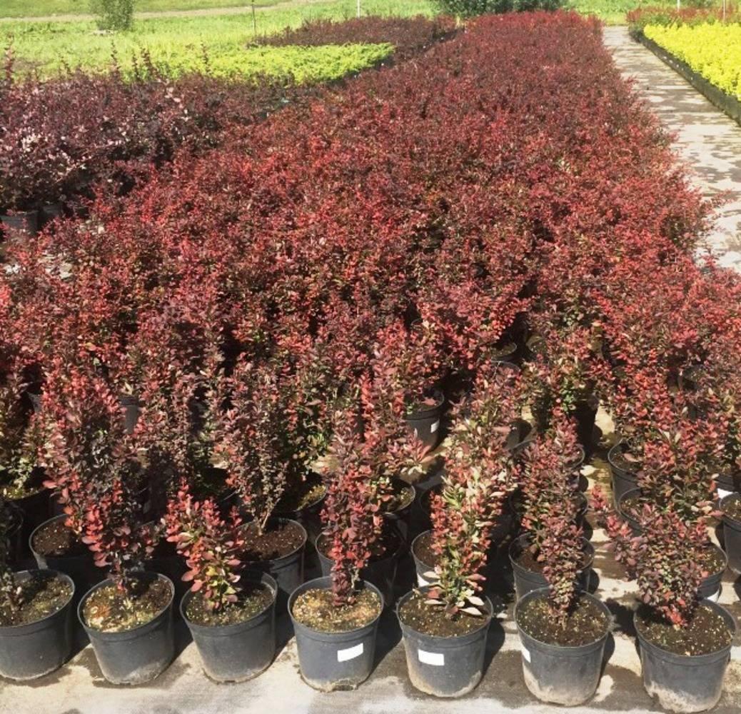 Агротехника выращивания барбариса марии в открытом грунте: как ухаживать, удобрять