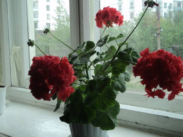 Не цветет пеларгония королевская — почему? как исправить ситуацию?