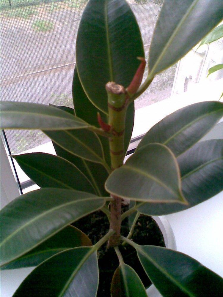 Древовидное вечнозеленое растение — фикус «лирата»