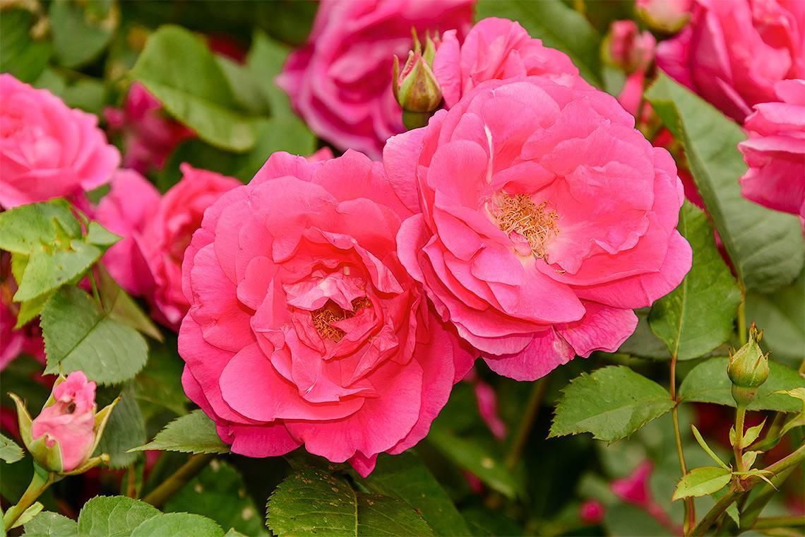 О розе morden centennial: описание и характеристики, выращивание канадской розы