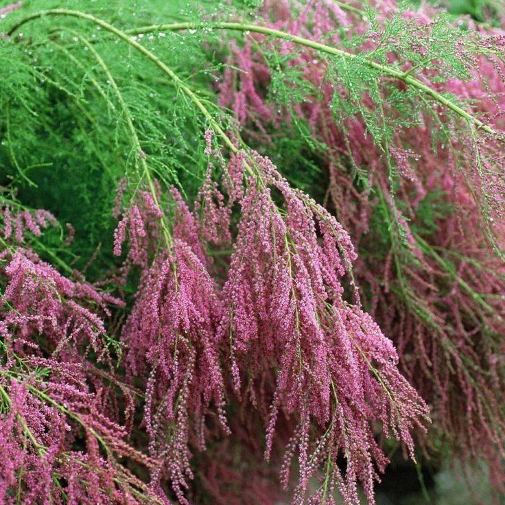 Тамарикс кустарник — описание видов и сортов