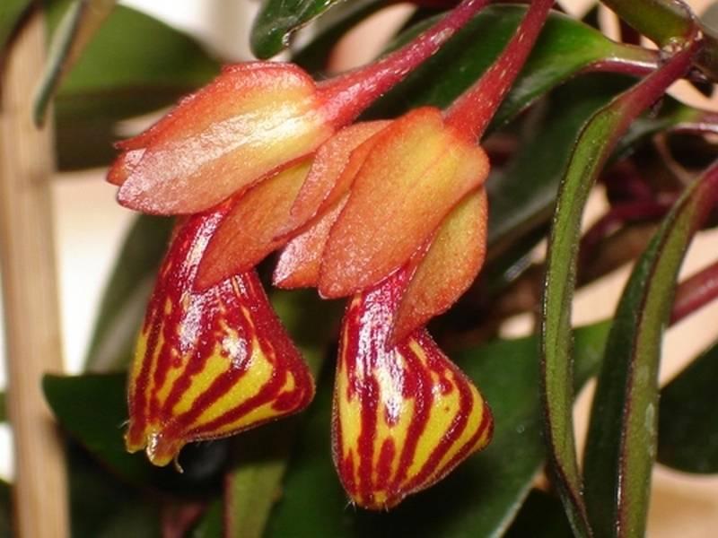Нематантус (nematanthus), или гипоцирта (hypocyrta). описание, виды и уход за нематантусом