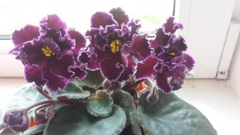 Фиалка рогатая (30 фото): выращивание многолетней виолы в открытом грунте. как сажать семена на рассаду? сорта «кокетка» и «гжельские узоры», «модница» и « эрлин f1»