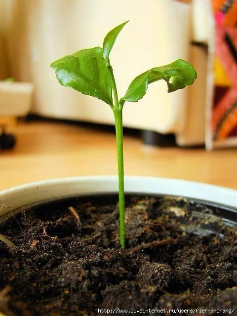 Проращивание косточки лимона в домашних условиях: как вырастить росток лимона