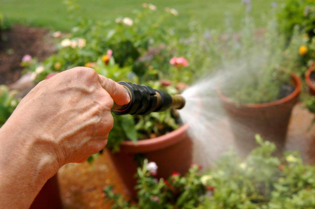 Пеларгония на рассаду: как вырастить герань из семян в домашних условиях