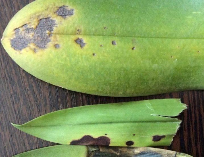 Болезни орхидей (31 фото): описание болезней фаленопсиса и других видов и их лечение. что делать, если у орхидеи липкие листья? почему она засыхает или не растет?