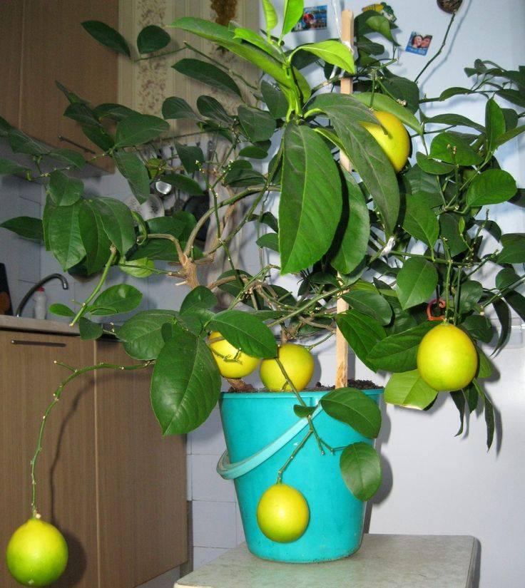 Домашний лимон: уход в домашних условиях в горшке, обрезка, фото, пересадка, цветение, плоды, болезни растения, польза и вред