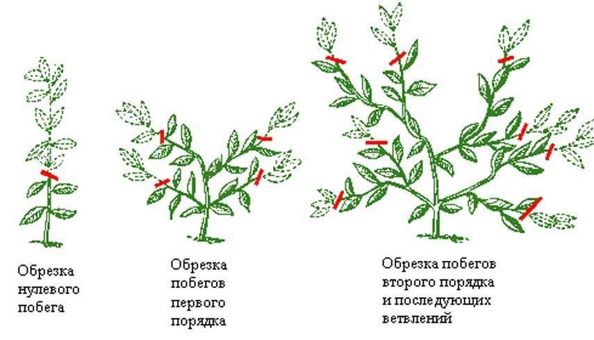 Как обрезать бегонию для пышного цветения, можно ли ее прищипывать и и как правильно ухаживать после?