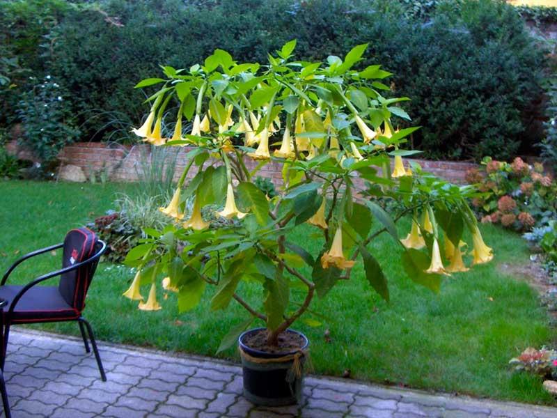 Бругмансия цветок, выращивание в домашних условиях, уход на видео