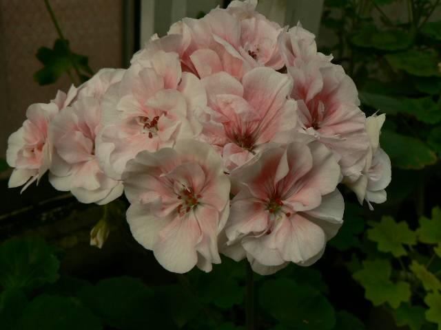 Пеларгония салмон комтесс, квин, найт и пак принцесс с фото, описание внешнего вида цветка, его особенности, правила по выращиванию и уходу, методы размножения