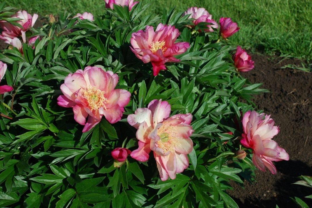 Пион уклоняющийся (марьин корень) — выращивание на садовом участке