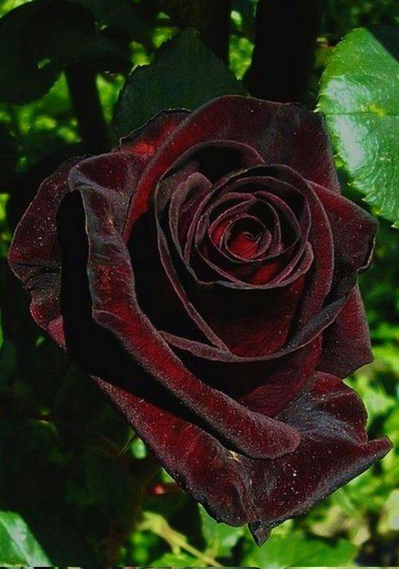 Роза блэк баккара: описание сорта, особенности, уход и отзывы