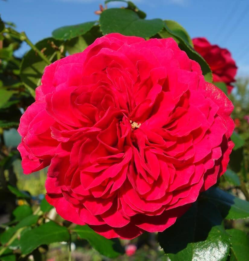 Как ухаживать и сажать розу группы флорибунда сорта леонардо да винчи?