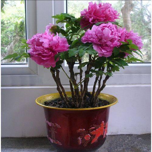 Пионы в горшке — особенности выращивания декоративных растений