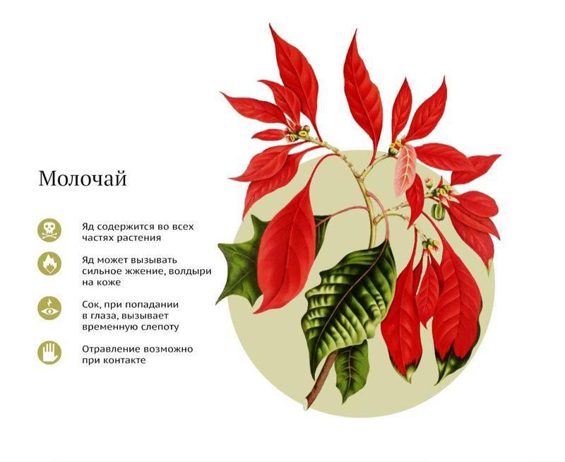 Комнатные ядовитые и опасные растения: фото и название