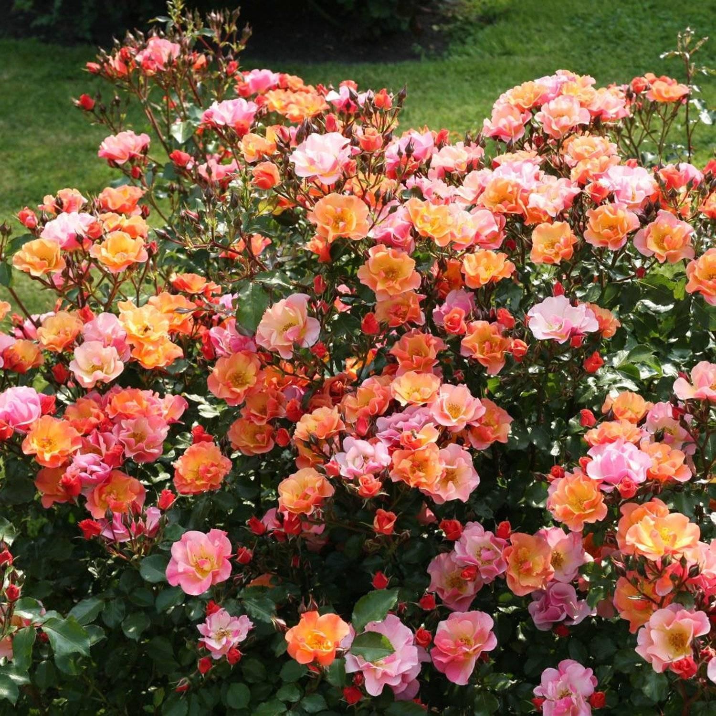 Розы кордеса (56 фото): особенности сорта «юбилей», лучшие зимостойкие сорта для подмосковья, отзывы о французских розах