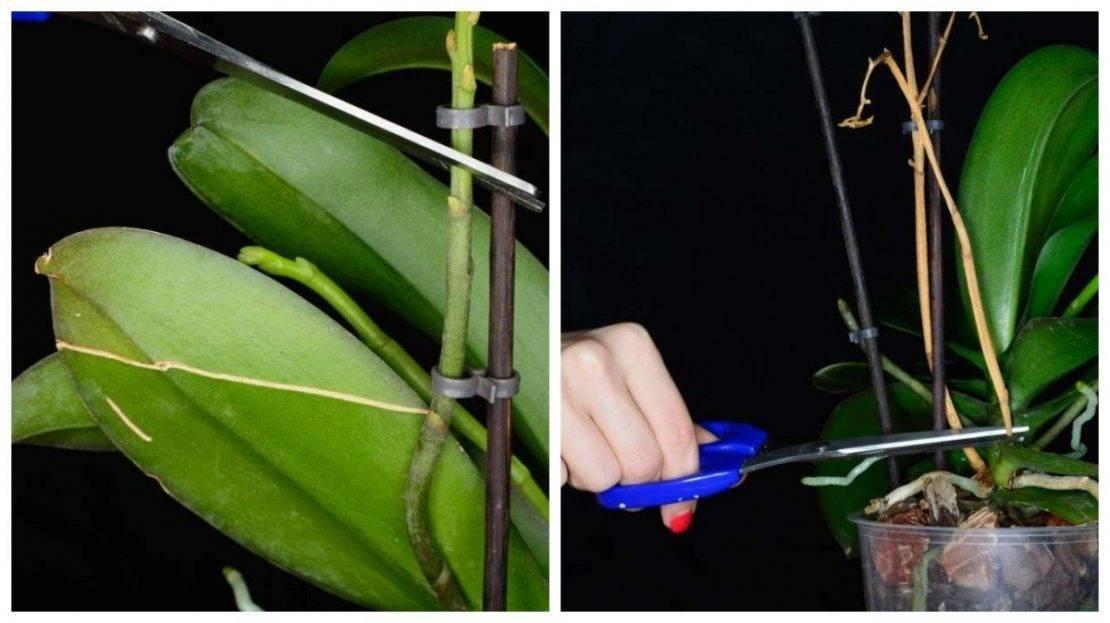 Самые подробные рекомендации, как обрезать фаленопсис после цветения, чтобы орхидея ещё долго радовала вас