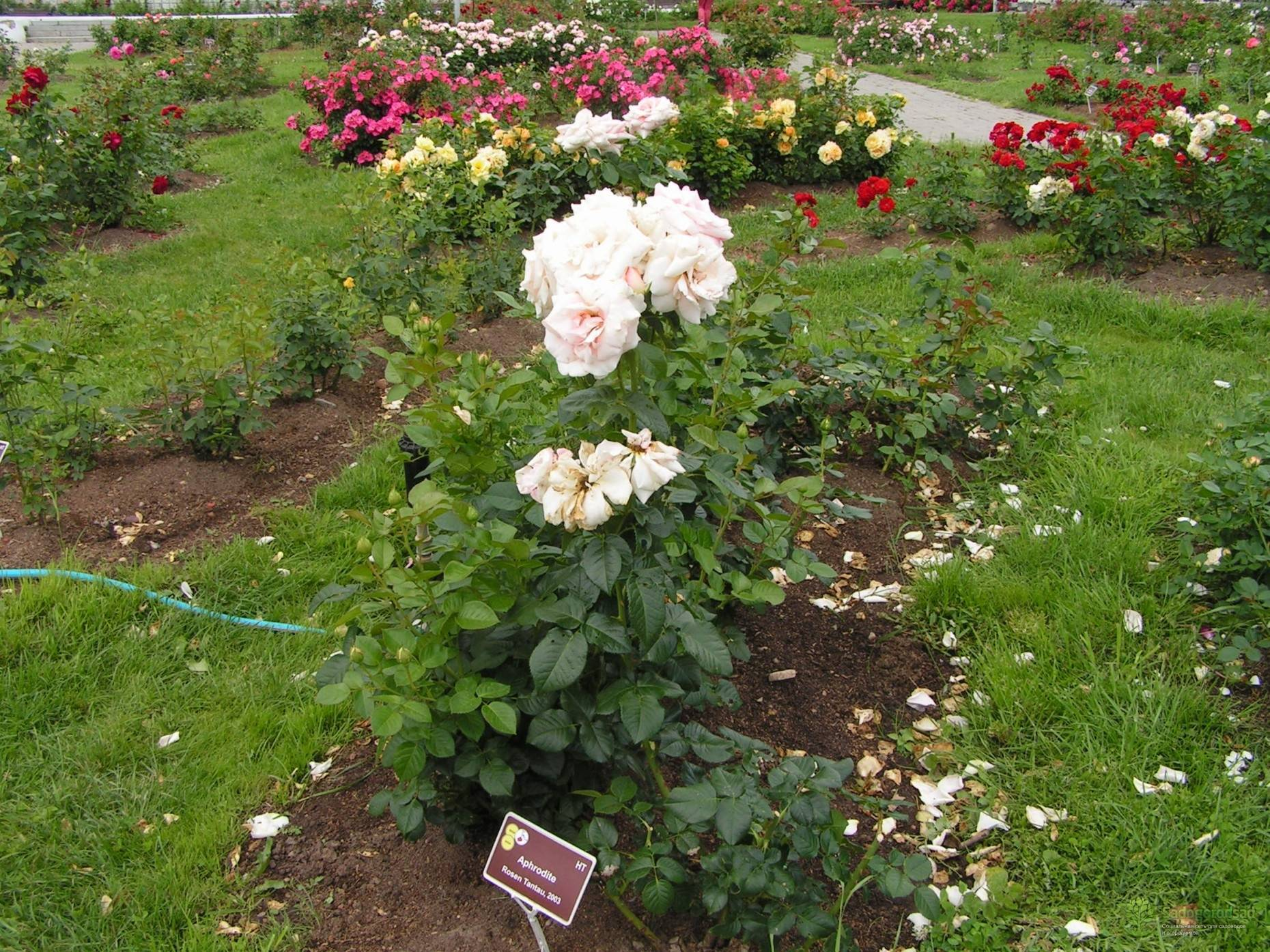 Особенности выращивания плетистого сорта розы барок: как посадить и ухаживать